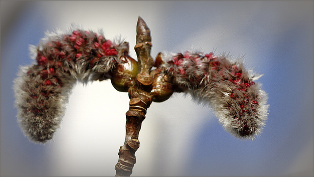 Populus tremula - châtons mâles [devinette] 30761141.24a6e8dd.640