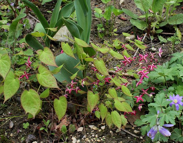 Epimedium - fleur des elfes  19676465.93d090a7.640