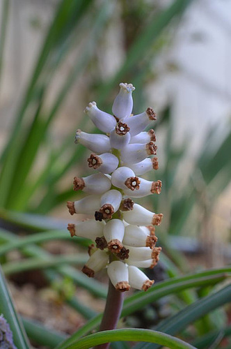 Muscari macrocarpum albinos