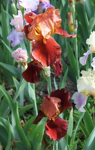 Iris 'Natchez Trace' - Wills 1969 22191811.8e2f70e1.500