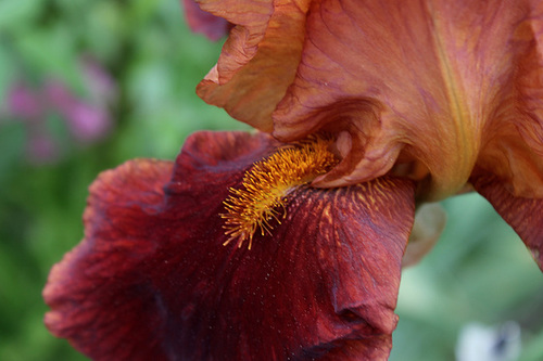 Iris 'Natchez Trace' - Wills 1969 22195087.40a87864.500