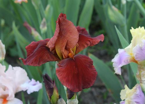 Iris 'Natchez Trace' - Wills 1969 22195269.833a43fe.500