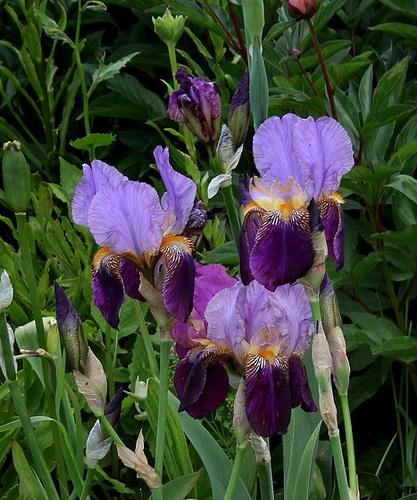 Iris 'Alcazar' - Vilmorin 1910 22195301.3db85ae3.500
