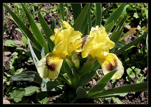 Floraison de nos iris barbus saison 2014 - Page 2 32495903.2bc944c3.500