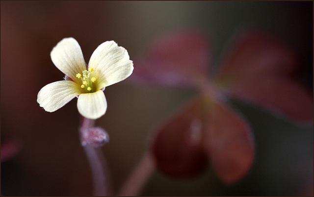 Oxalis corniculata var. atropurpurea [devinette] 30714383.b3216e04.640
