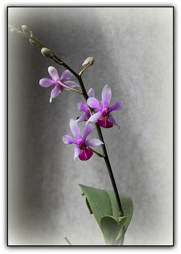 Doritenopsis  'Anna-Larati Soekardi' x wilsonii