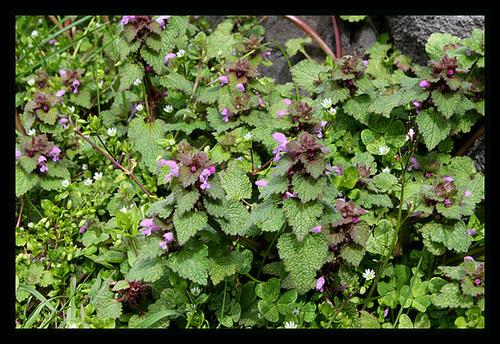 Lamium purpureum-Lamier pourpre