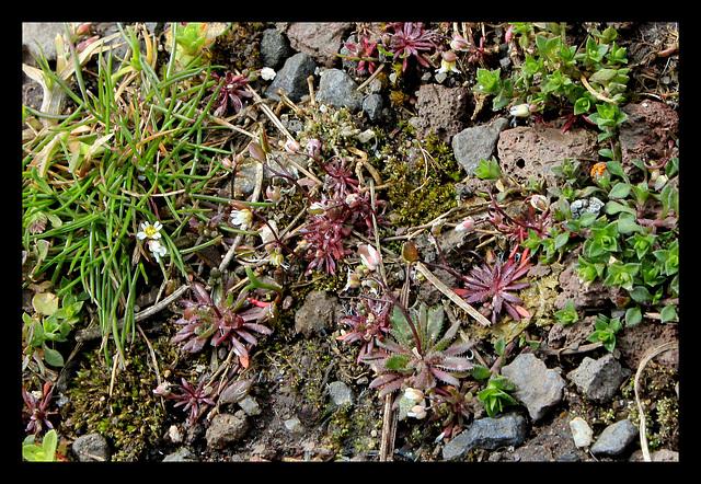 Drave printanière- Erophila verna
