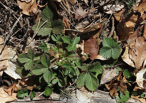 Potentilla micrantha - Potentille à petites fleurs