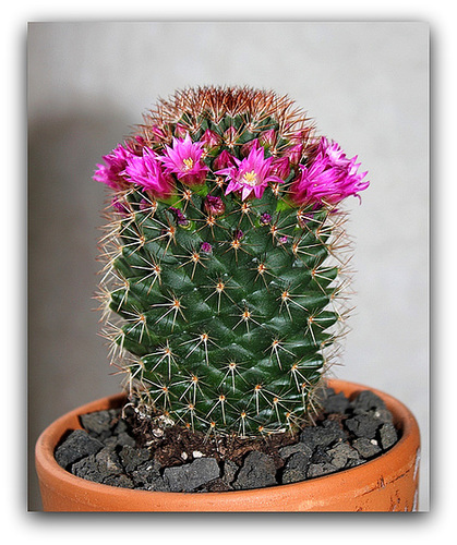 Mammillaria backebergiana v. ernestii
