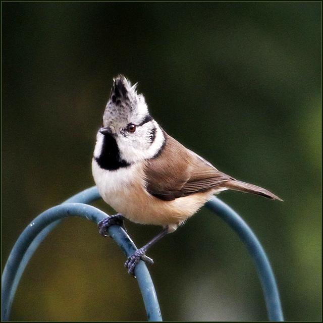 les visiteurs à plumes sauvages - 1 - Page 20 28875677.159f79eb.640