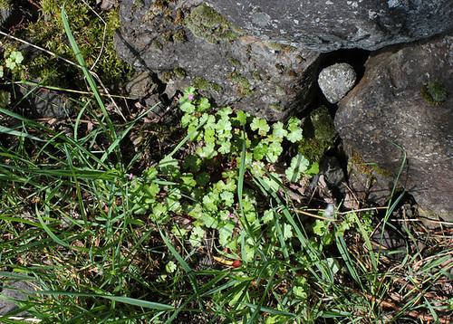 Geranium lucidum - géranium luisant 32541811.4d67eeb3.500