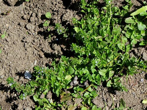Veronica serpyllifolia - véronique à feuilles de serpolet  32773805.395ed786.500