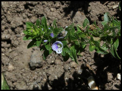 Veronica serpyllifolia - véronique à feuilles de serpolet  32773807.3d95f15e.500
