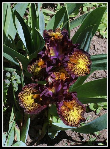 Floraison de nos iris barbus saison 2014 - Page 4 32745413.f9815657.500