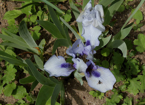 Floraison de nos iris barbus saison 2014 - Page 4 32590093.929b5df1.500