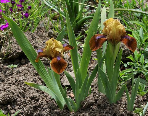 Floraison de nos iris barbus saison 2014 - Page 4 32590095.251596a3.500
