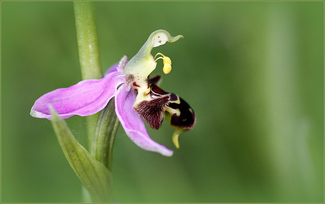 Ophrys apifera - ophrys abeille - Page 2 33060369.ff7423bc.640