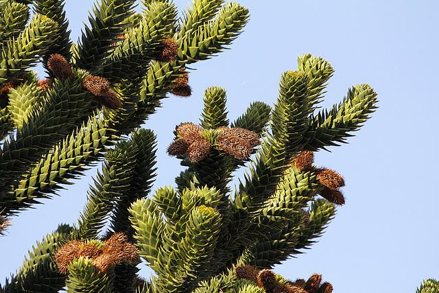 Araucaria araucana - désespoir du singe - Page 2 33513451.481ab657.640