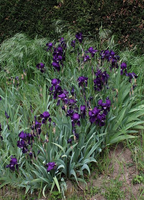 Floraison de nos iris barbus saison 2014 - Page 3 32585549.4c165b53.640