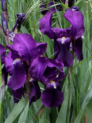 Floraison de nos iris barbus saison 2014 - Page 3 32585611.7b98a2dc.500