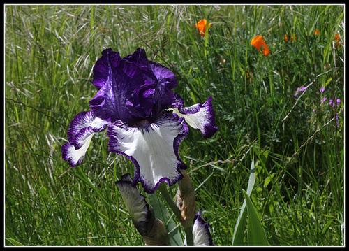 Floraison de nos iris barbus saison 2014 - Page 4 32958935.cf3be09b.500