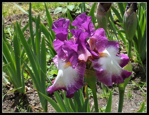 Floraison de nos iris barbus saison 2014 - Page 4 32958981.2981875c.500