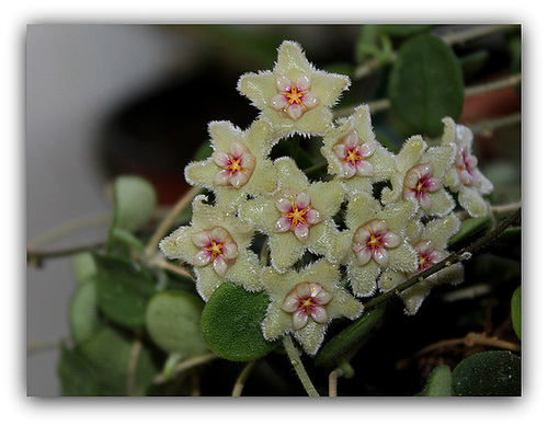 Hoya serpens