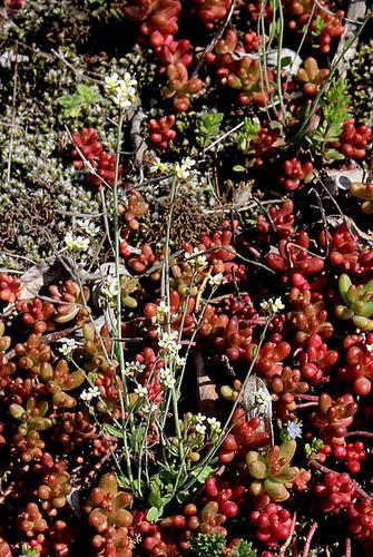 Arabidopsis thaliana- Arabette des dames