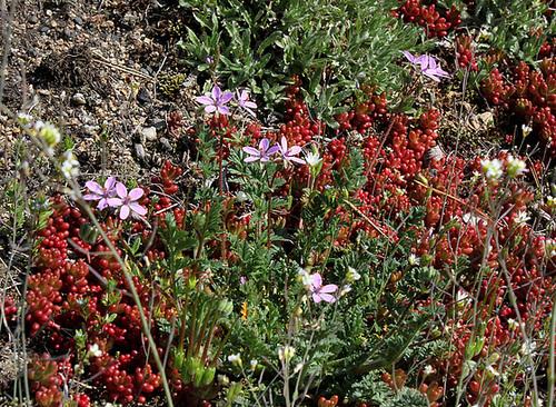 Erodium cicutarium - Erodium à feuilles de ciguë