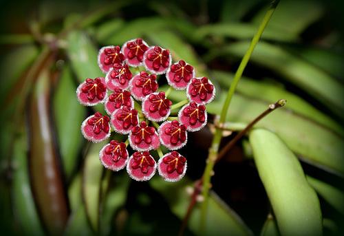 Hoya wayettii (4)