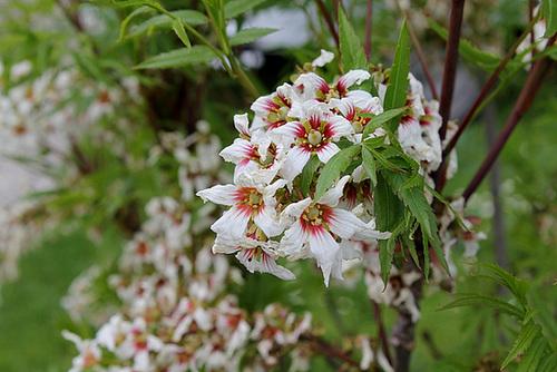 Xanthoceros sorbifolium (3)