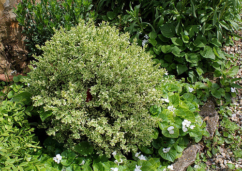 Buis- Buxus sempervirens variegata