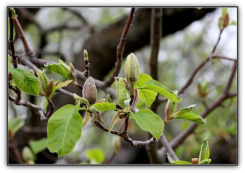 Magnolia acuminata- Débourrement et boutons de fleurs