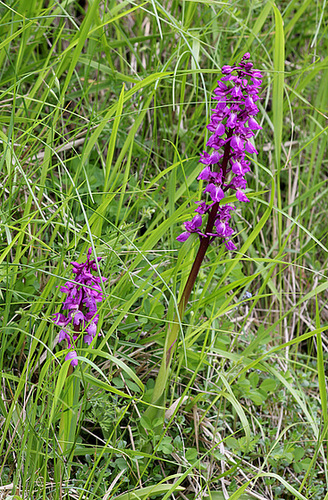 Orchis mascula - Orchis mâle (6)