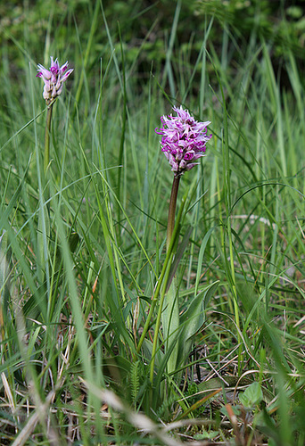 Orchis simia - Orchis singe