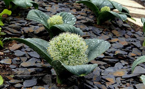 Allium karaviense ' Ivory Queen'