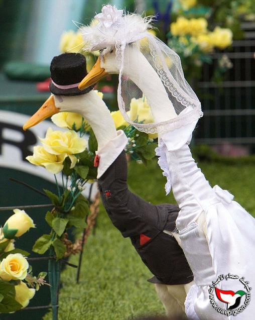 صور زهرة البط الأستراليه شئ غريب Uaepigeon-cf84e93fe7
