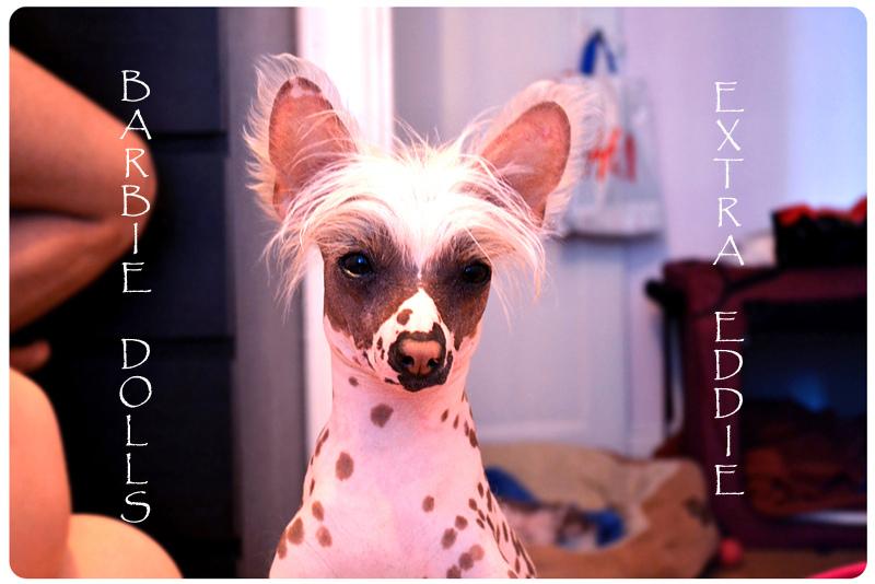 Собака породы китайская хохлатая (голая). Фото