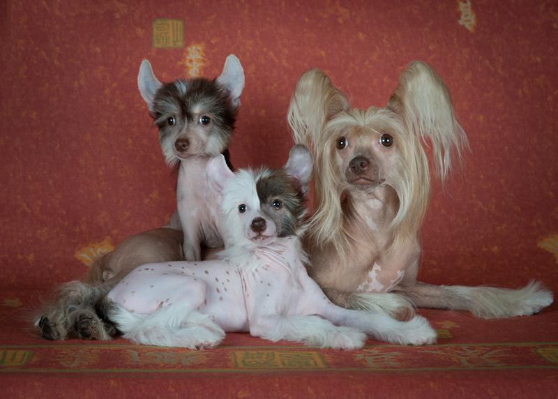 Собаки породы китайская хохлатая (голая). Фото