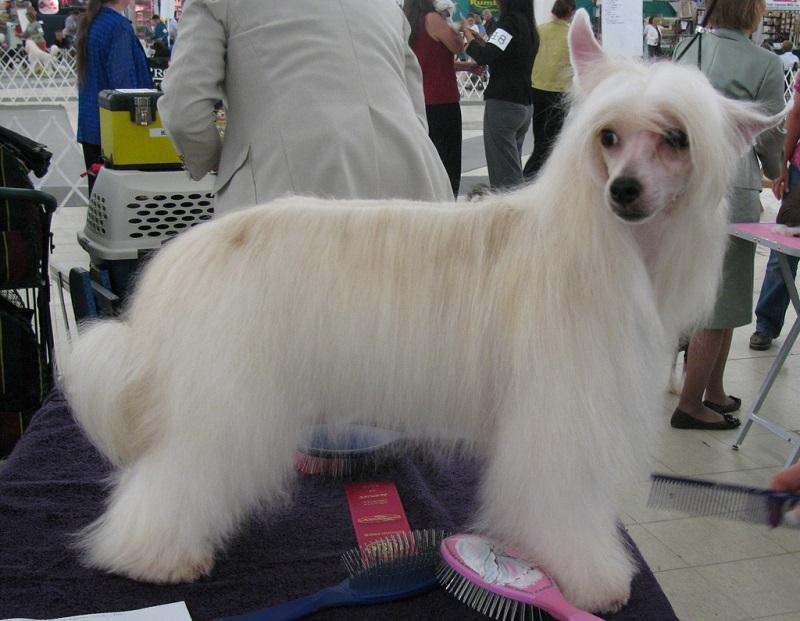 Собака породы китайская хохлатая (пуховая). Фото