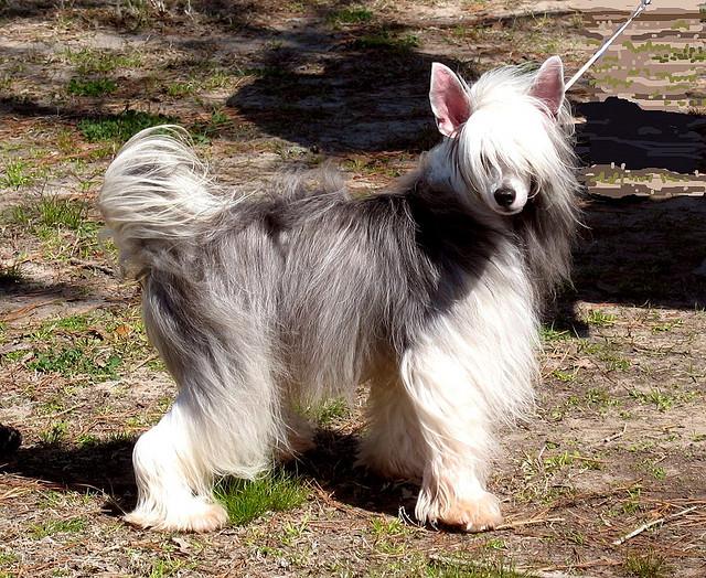 Собака породы китайская хохлатая (пуховка). Фото