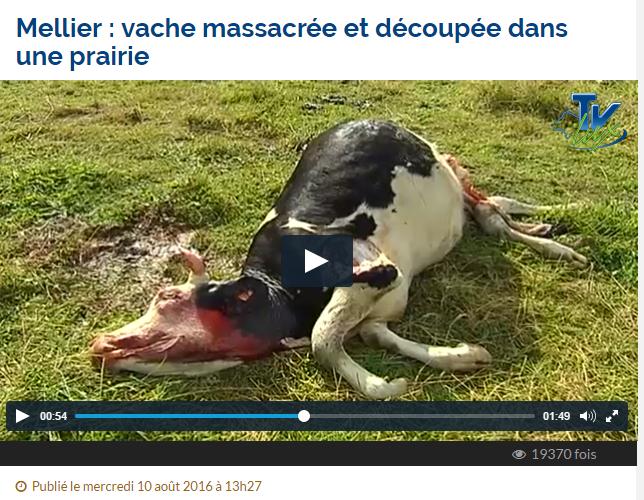 Cas de mutilation bovine en Belgique 108