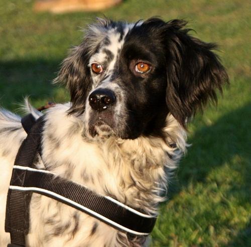 Bildertagebuch - Ginger lebt jetzt als Dauerpflegehund bei ihrer Pflegefamilie 12564138mf