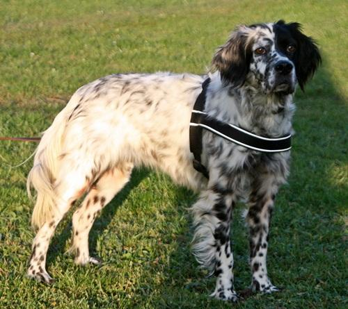 Bildertagebuch - Ginger lebt jetzt als Dauerpflegehund bei ihrer Pflegefamilie 12564139cs