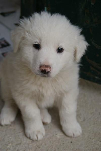 Hundehilfe Italien - Maremmanenbabys 13154376hm