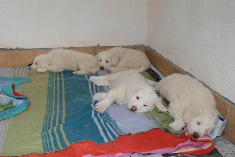 Hundehilfe Italien - Maremmanenbabys 13157092ch
