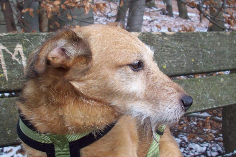 Jack - Hundeopa - Terrier - knapp 14 Jahre 13402376tg