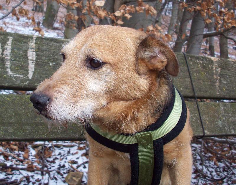 Jack - Hundeopa - Terrier - knapp 14 Jahre 13402380of