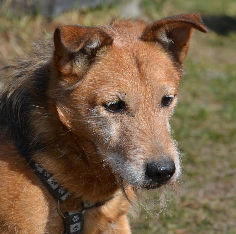 Jack - Hundeopa - Terrier - knapp 14 Jahre - Seite 2 13900606ab